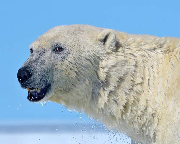 Photograph - Bear Left by Tony Beck