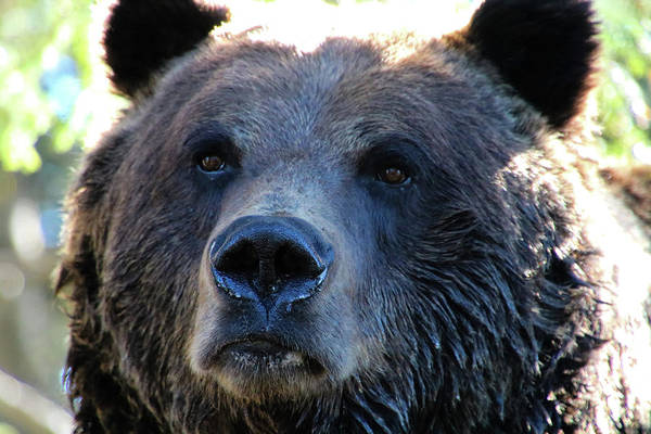 Photograph - Bear On Grouse by Perggals - Stacey Turner