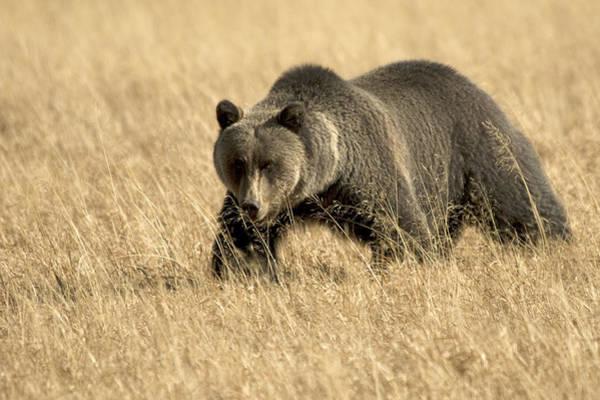 Bear On The Prowl Art Print