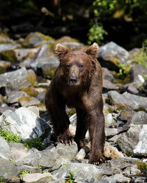 Photograph - Bear On The Rocks Walking by Gloria Anderson