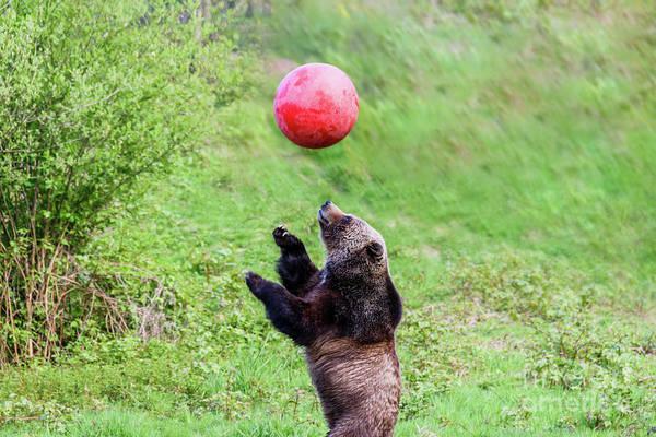 Canada Wall Art - Photograph - Bear Plays With A Ball 8 by Viktor Birkus