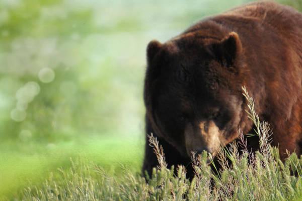 Big Bear Photograph - Mr Bear by Art Spectrum
