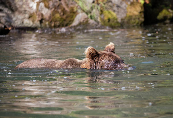 Photograph - Bear Swimming With His Nose Underwater by Gloria Anderson