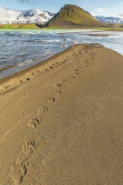 Wall Art - Photograph - Bear Tracks On The Beach by Tim Grams