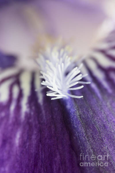 Wall Art - Photograph - Bearded Iris 2 by Elena Nosyreva