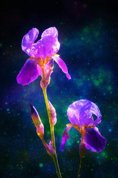 Photograph - Bearded Iris 3 by Sherri Meyer