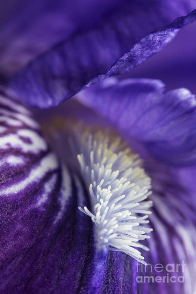 Wall Art - Photograph - Bearded Iris by Elena Nosyreva