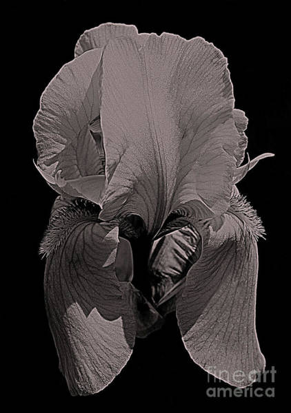 Photograph - Bearded Iris Flower In Black And White by Smilin Eyes  Treasures
