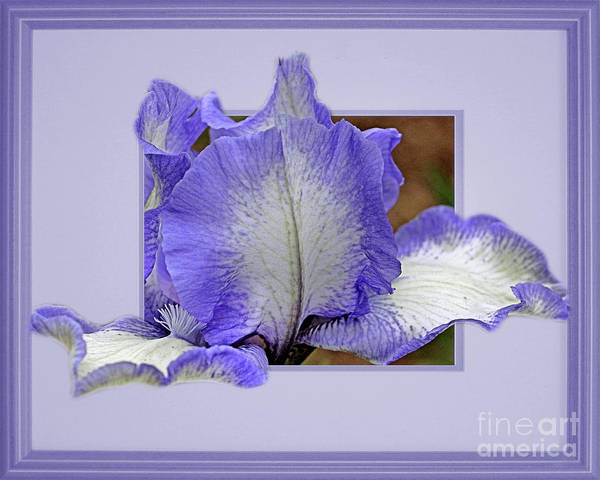 Photograph - Bearded Iris Flower Peeking Out by Smilin Eyes  Treasures