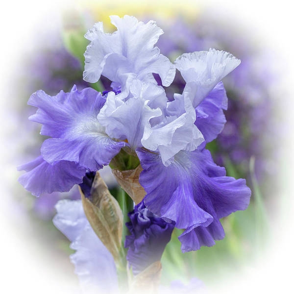 Photograph - Bearded Iris Purple And White by Mother Nature