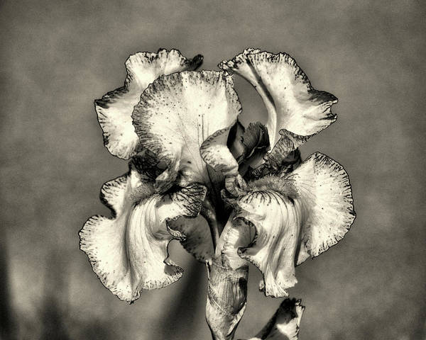 Photograph - Bearded Iris White With Purple In Black And White by Bill Swartwout Photography