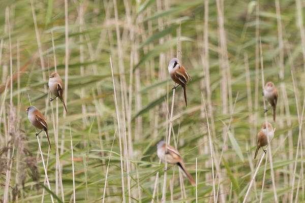 Photograph - Bearded Reedlings Family Outing by Wendy Cooper