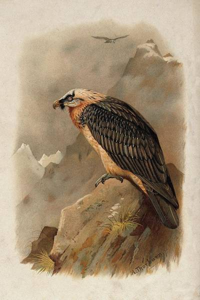 Bird Watercolor Mixed Media - Bearded Vulture By Thorburn by Archibald Thorburn