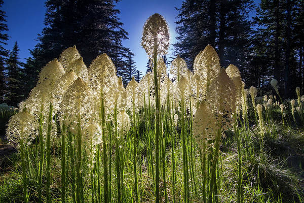 Photograph - Beargrass In Bloom by Mark Kiver