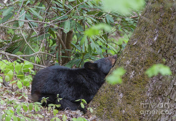 Photograph - Bearly Awake by Chris Scroggins
