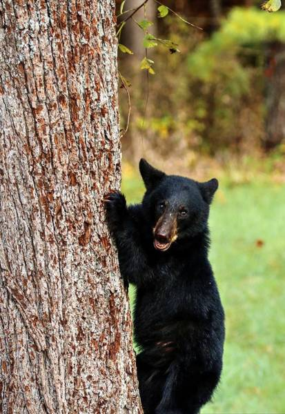 Photograph - Bears Climb For Safety by Carol Montoya