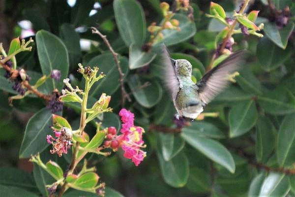 Photograph - Beating Wings - Hummingbird by Kim Bemis