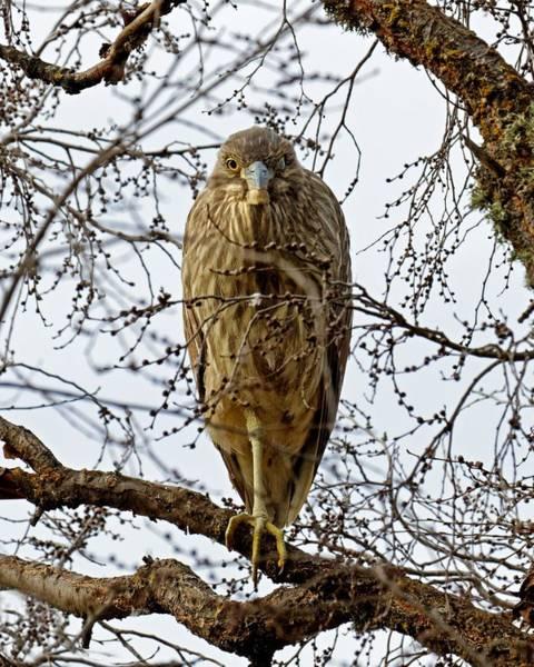 Photograph - Beatnik In A Tree - Night Heron by KJ Swan