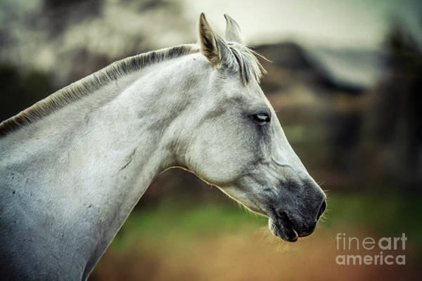 Photograph - Equine Portrait White Horse Head by Dimitar Hristov