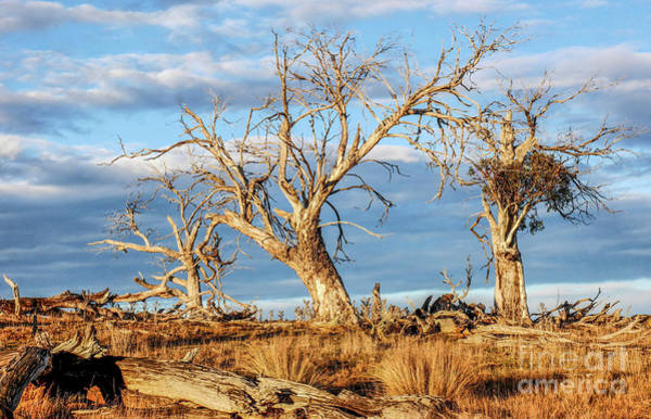 Photograph - Beautiful Bare Trees by Lexa Harpell