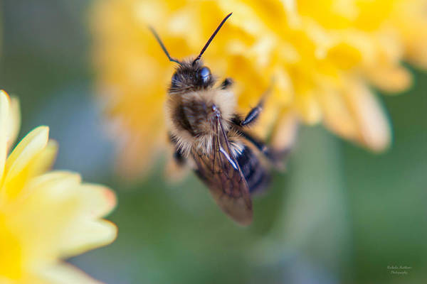 Photograph - Beautiful Bee by Mechala Matthews