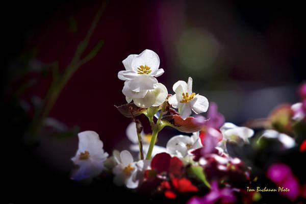 Wall Art - Photograph - Beautiful Begonia by Tom Buchanan