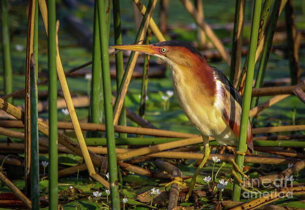 Photograph - Beautiful Bittern by Tom Claud