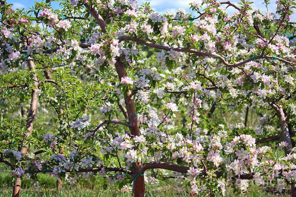 Photograph - Beautiful Blossoms - Digital Art by Carol Groenen