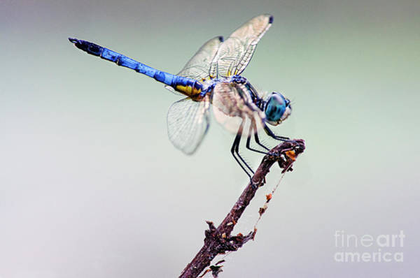 Photograph - Beautiful Blue Dasher  by Spade Photo
