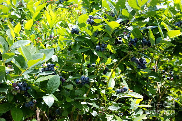 Wall Art - Photograph - Beautiful Blueberries With Green Leaves by Carol Groenen