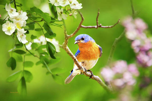 Wall Art - Photograph - Beautiful Bluebird by Christina Rollo
