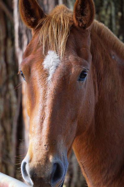Photograph - Beautiful Brown Horse by Pamela Walton