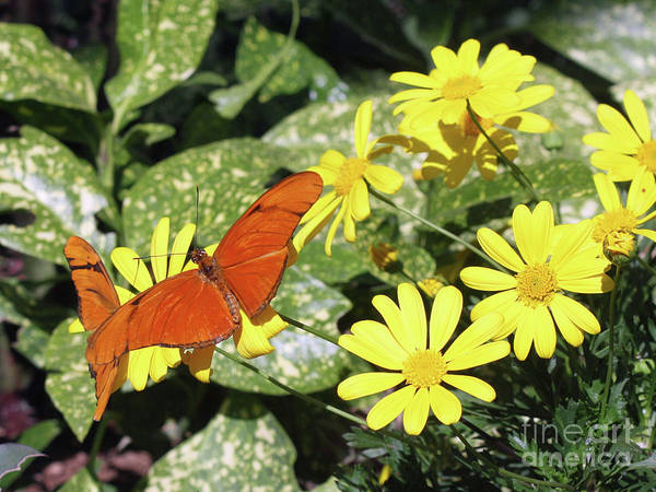 Photograph - Beautiful Butterflies by Kelly Holm