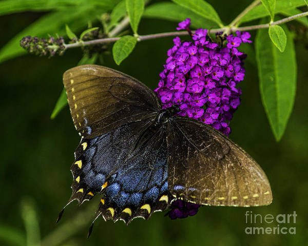 Photograph - Beautiful Butterfly by Nick Zelinsky