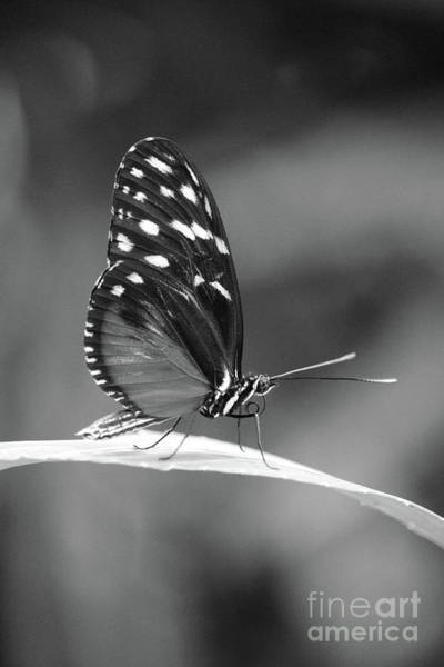 Photograph - Beautiful Butterfly On Leaf Black And White by Carol Groenen