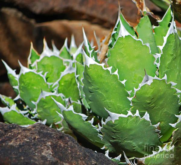 Photograph - Beautiful Cactus by Donna Greene