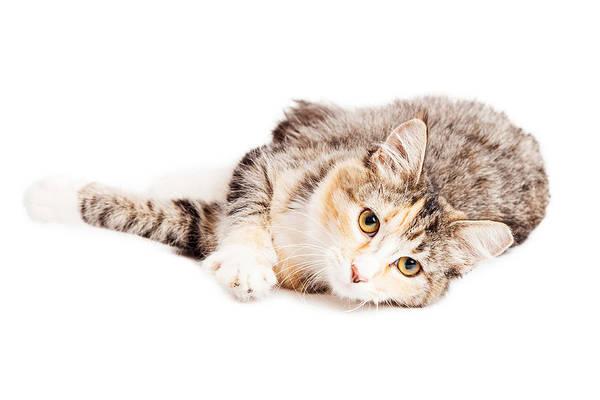Calico Kitten Wall Art - Photograph - Beautiful Calico Kitty Laying Looking Forward by Susan Schmitz