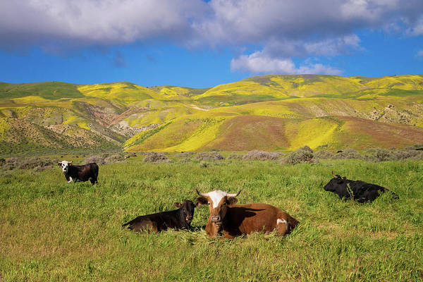 Photograph - Beautiful California Cow Country  by Lynn Bauer