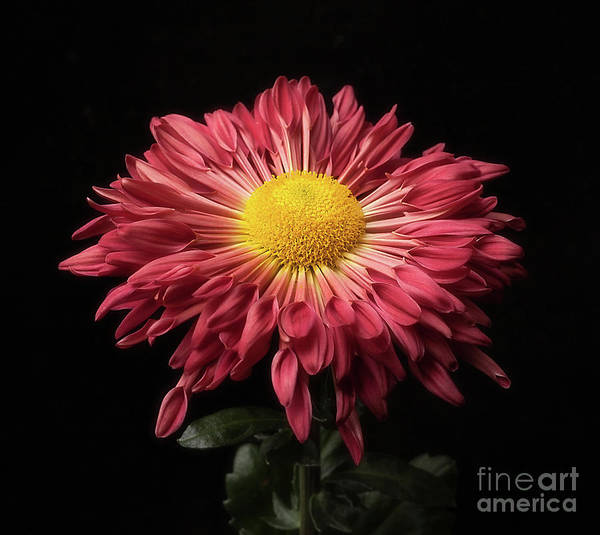 Photograph - Beautiful Chrysanthemum by Ann Jacobson