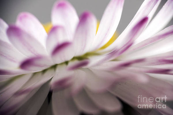 Photograph - Beautiful Colorful Image About Daisy Flower by Odon Czintos