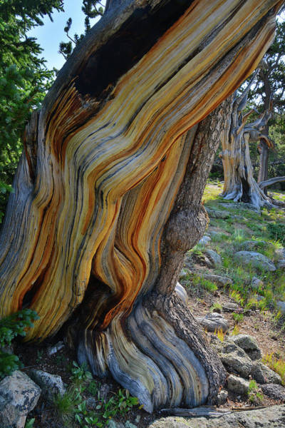 Photograph - Beautiful Colors Of Bristlecone Pines On Mt. Goliath by Ray Mathis