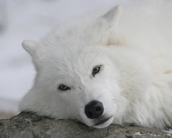 Arctic Wolves Photograph - Beautiful Daydreamer by Gerry Sibell