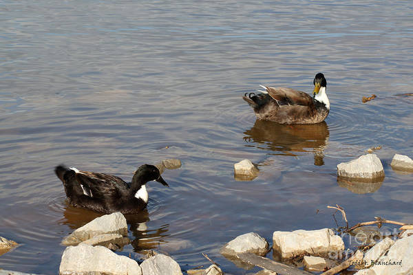 Photograph - Beautiful Ducks by Todd Blanchard
