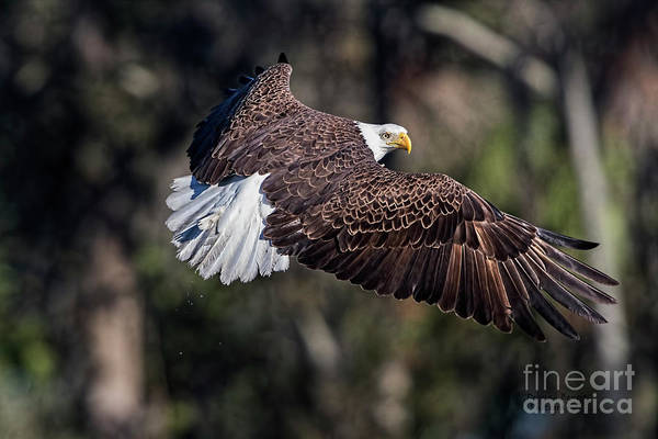 Wall Art - Photograph - Beautiful Eagle Pose by Deborah Benoit