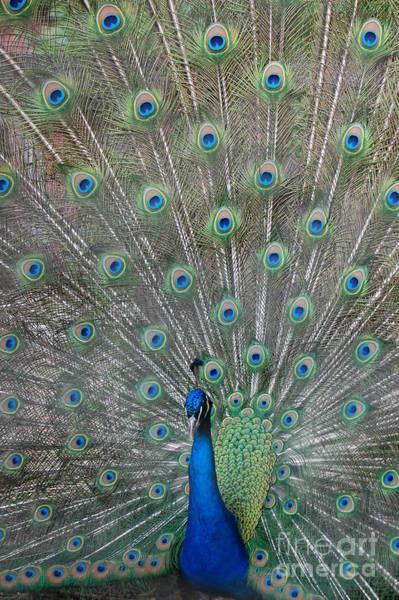 Photograph - Beautiful Feathers by Patty Vicknair