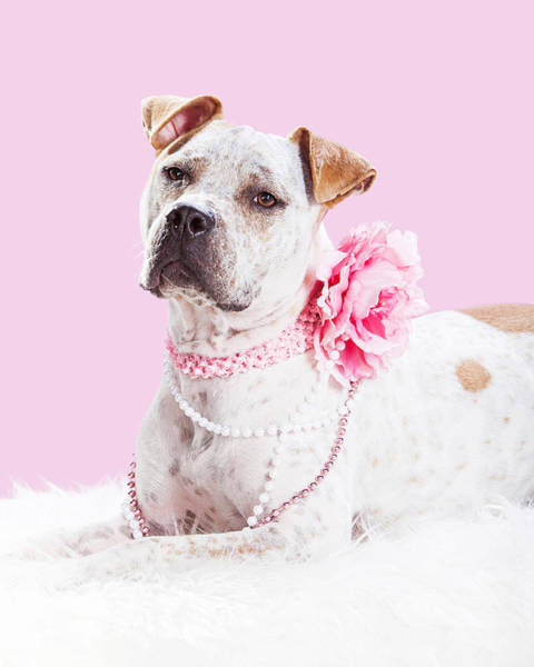Canine Photograph - Beautiful Female Pit Bull Dog In Pink by Susan Schmitz