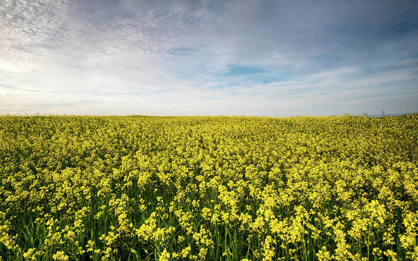 Outdoor Wall Art - Photograph - Beautiful Field With Yellow Flowers In Spring by Michalakis Ppalis