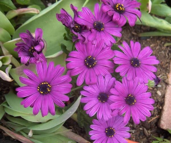Osteospermum Hybrid Photograph - Beautiful Flowers The Purple Osteospermum by Paul - Phyllis Stuart