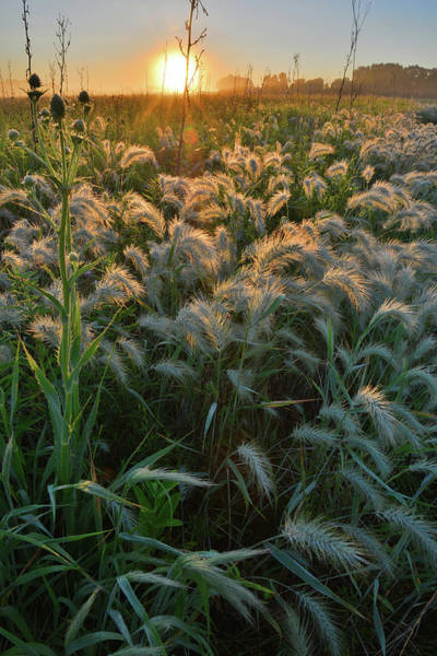 Photograph - Beautiful Fox Tail Grasses Glow In Morning Light by Ray Mathis
