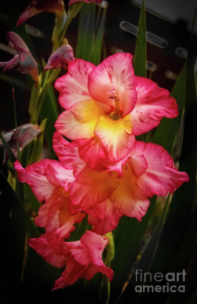 Bisexual Photograph - Beautiful Glads by Robert Bales